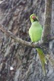 Πράσινος παπαγάλος σε ένα δέντρο Στοκ Φωτογραφίες