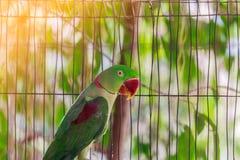 Πράσινος παπαγάλος σε ένα κλουβί Στοκ Εικόνες