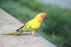 πράσινος παπαγάλος Στοκ Εικόνα