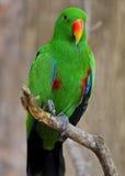 πράσινος παπαγάλος Στοκ εικόνες με δικαίωμα ελεύθερης χρήσης
