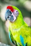 Πράσινος παπαγάλος ara macaw υπαίθριος Στοκ Φωτογραφία