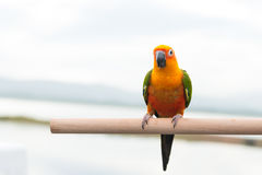 Πράσινος παπαγάλος lovebird Στοκ Εικόνα