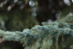 Πράσινος πολύβλαστος κομψός κλάδος Κλάδοι του FIR Κομψή ανασκόπηση Στοκ εικόνα με δικαίωμα ελεύθερης χρήσης