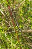 Πράσινος-ριγωτή λιβελλούλη Darner Στοκ εικόνες με δικαίωμα ελεύθερης χρήσης