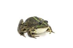 Πράσινος ριγωτός βάτραχος έλους Στοκ Φωτογραφία