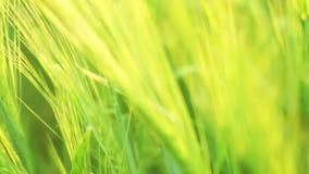 Πράσινος σίτος. Μεταβλητή εστίαση απόθεμα βίντεο