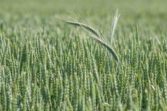πράσινος σίτος πεδίων Υπόβαθρο γεωργίας Στοκ φωτογραφία με δικαίωμα ελεύθερης χρήσης