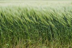 πράσινος σίτος πεδίων Στοκ Εικόνες