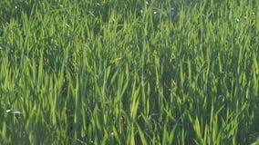 Πράσινος σίτος που χορεύει στον αέρα σε ένα καλό απόγευμα σε σε αργή κίνηση απόθεμα βίντεο