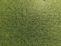 Πράσινος σίτος στον τομέα, τοπ άποψη με έναν κηφήνα Σύσταση του πράσινου υποβάθρου σίτου στοκ εικόνες