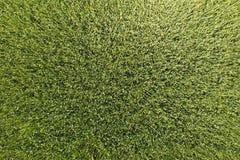 Πράσινος σίτος στον τομέα, τοπ άποψη με έναν κηφήνα Σύσταση του whea στοκ φωτογραφία με δικαίωμα ελεύθερης χρήσης