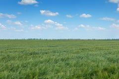 πράσινος σίτος τοπίων πεδί&o πράσινος σίτος πεδίων Στοκ φωτογραφία με δικαίωμα ελεύθερης χρήσης