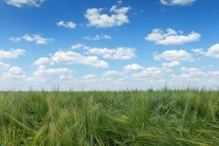 πράσινος σίτος τοπίων πεδί&o πράσινος σίτος πεδίων Στοκ Φωτογραφίες