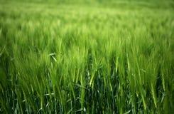 πράσινος σίτος χλόης πεδίων Στοκ εικόνες με δικαίωμα ελεύθερης χρήσης