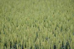 πράσινος σίτος Στοκ Εικόνα
