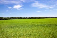 πράσινος σίτος Στοκ φωτογραφία με δικαίωμα ελεύθερης χρήσης