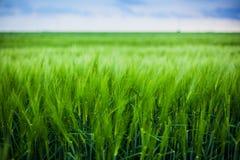 πράσινος σίτος Στοκ Φωτογραφίες