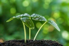 Πράσινος σπόρος νεαρών βλαστών Στοκ Εικόνα