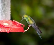Πράσινος στεμμένος λαμπρός στοκ εικόνες με δικαίωμα ελεύθερης χρήσης