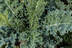 Πράσινος στενός επάνω του Kale Στοκ Εικόνα