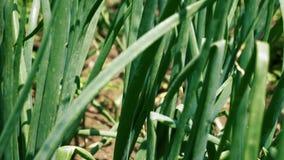 Πράσινος στενός επάνω φυτειών φύλλων κρεμμυδιών απόθεμα βίντεο