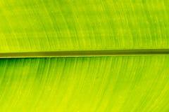 Πράσινος στενός επάνω φύλλων μπανανών Στοκ Εικόνα