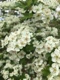 Πράσινος στενός φύσης λουλουδιών άσπρος στοκ εικόνες