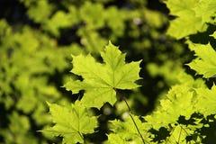 πράσινος σφένδαμνος φύλλ&omega Στοκ Εικόνα