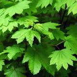 πράσινος σφένδαμνος φύλλ&omega στοκ φωτογραφία