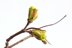 Πράσινος τέφρα-με φύλλα σφένδαμνος φύλλων και οφθαλμών στο άσπρο υπόβαθρο Στοκ Εικόνες
