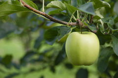 Πράσινος της Apple οπωρώνας Agricu προϊόντων φρούτων τροφίμων Γιαγιάδων Σμίθ φρέσκος Στοκ εικόνα με δικαίωμα ελεύθερης χρήσης