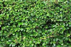 Πράσινος τοίχος δέντρων ορειβατών Στοκ Φωτογραφίες