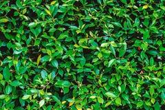 Πράσινος τοίχος δέντρων Στοκ εικόνα με δικαίωμα ελεύθερης χρήσης