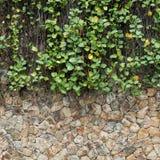 Πράσινος τοίχος κισσών και πετρών Στοκ Φωτογραφία