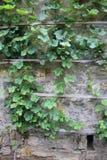 Πράσινος τοίχος κισσών και πετρών Στοκ Εικόνες