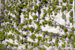 πράσινος τοίχος κισσών Στοκ φωτογραφίες με δικαίωμα ελεύθερης χρήσης