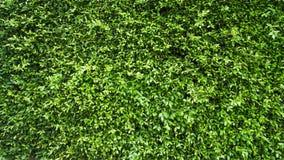 Πράσινος τοίχος φυτών φύλλων Στοκ φωτογραφία με δικαίωμα ελεύθερης χρήσης