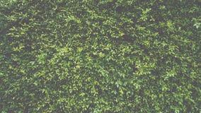 Πράσινος τοίχος φυτών φύλλων Στοκ Φωτογραφίες
