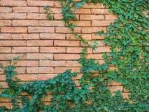 πράσινος τοίχος φύλλων τ&omicron Στοκ Φωτογραφίες
