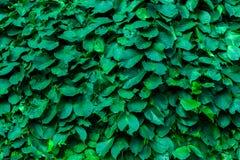 πράσινος τοίχος φύλλων στοκ φωτογραφία
