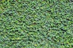 πράσινος τοίχος φύλλων ανασκόπησης Στοκ φωτογραφία με δικαίωμα ελεύθερης χρήσης