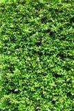 Πράσινος τοίχος φύλλων Στοκ Εικόνες