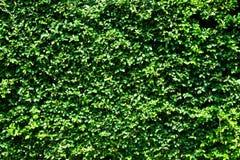 Πράσινος τοίχος φύλλων Στοκ φωτογραφίες με δικαίωμα ελεύθερης χρήσης