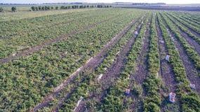 Πράσινος τομέας γεωργίας με τους Μπους και το ηλιοβασίλεμα ντοματών Στοκ φωτογραφίες με δικαίωμα ελεύθερης χρήσης