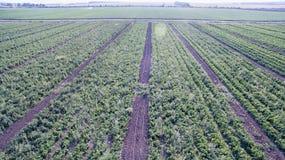 Πράσινος τομέας γεωργίας με τους Μπους και το ηλιοβασίλεμα ντοματών Στοκ εικόνα με δικαίωμα ελεύθερης χρήσης