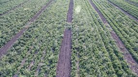 Πράσινος τομέας γεωργίας με τους Μπους και το ηλιοβασίλεμα ντοματών Στοκ εικόνες με δικαίωμα ελεύθερης χρήσης