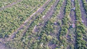 Πράσινος τομέας γεωργίας με τους Μπους και το ηλιοβασίλεμα ντοματών Στοκ Φωτογραφίες