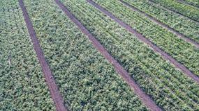 Πράσινος τομέας γεωργίας με τους Μπους και το ηλιοβασίλεμα ντοματών Στοκ φωτογραφία με δικαίωμα ελεύθερης χρήσης