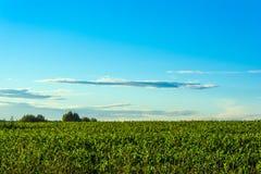 Πράσινος τομέας καλαμποκιού στο ηλιοβασίλεμα Στοκ εικόνες με δικαίωμα ελεύθερης χρήσης