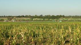 Πράσινος τομέας καλαμποκιού, κινεζικό δίχτυ του ψαρέματος, τοπίο απόθεμα βίντεο